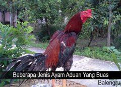 Beberapa Jenis Ayam Aduan Yang Buas