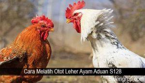 Cara Melatih Otot Leher Ayam Aduan S128