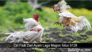 Ciri Fisik Dari Ayam Laga Magon Situs S128