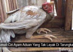 Kenali Ciri Ayam Aduan Yang Tak Layak Di Tarungkan